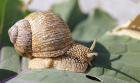 Stock Image: elix pomatia also Roman snail, Burgundy snail on a leaf