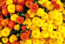 Stock Image: French Marigold