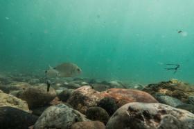 Stock Image: fresh water fish