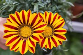 Stock Image: gazania flower or african daisy