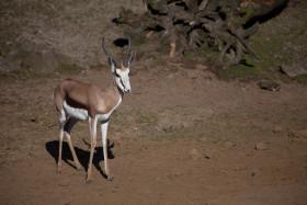 Stock Image: gazelle