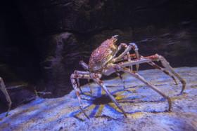 Stock Image: Giant crab
