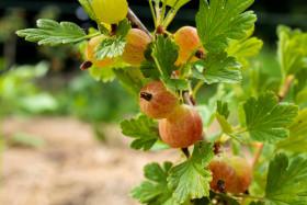 Stock Image: Gooseberries ripen in the summer sun