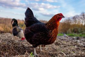 Hen walks around the farm