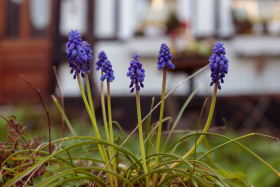 Stock Image: Hyacinths in spring
