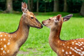 Stock Image: Kissing deer