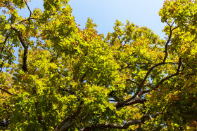 Stock Image: Looking up to a chestnut tree