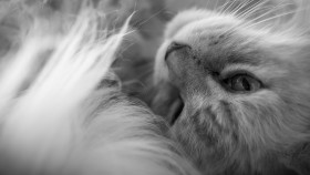 Stock Image: maine coon cat has snuggled up