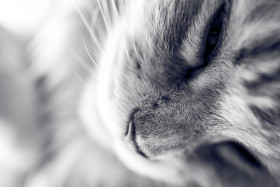 Stock Image: maine coon cat has snuggled up black and white