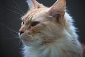 Stock Image: mainecoon cat portrait