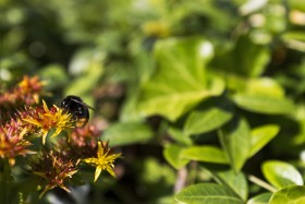 Stock Image: mason bee
