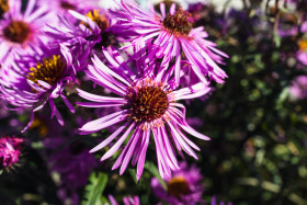 Stock Image: New England aster