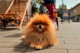 Stock Image: Orange pomeranian dog lying on the pedestrian street