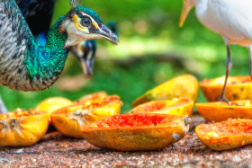 Stock Image: peacock eating fruits