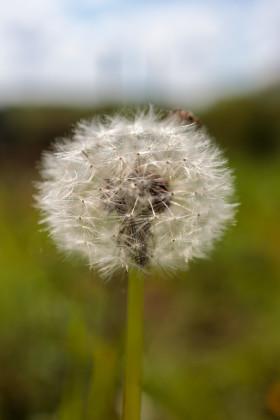 Stock Image: Perfect Blowball