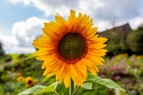 Stock Image: Perfect Sunflower
