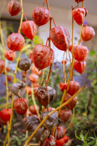 Stock Image: Physalis peruviana - Cape gooseberry, goldenberry or physalis