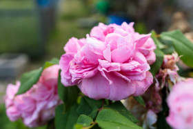 Stock Image: Pink Rose blooms in summer