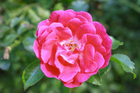 Stock Image: Pink Rose in the garden
