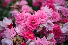 Stock Image: Pink Roses