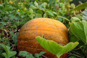 Stock Image: Pumpkin in the field