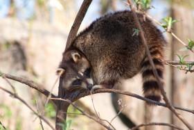 Stock Image: raccoon on tree