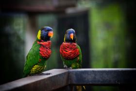 Stock Image: rainbow lorikeets