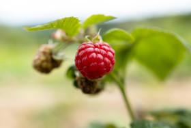 Stock Image: Raspberry ripens in the sun