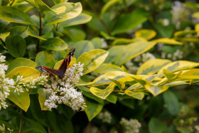Stock Image: Red Admiral Butterfly