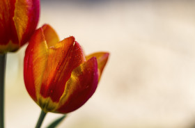 Stock Image: red orange tulips with pretty bokeh