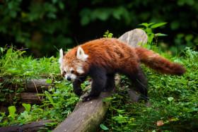 Stock Image: red panda