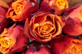 Stock Image: Red roses background