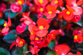Stock Image: Red Wax begonia Flowers