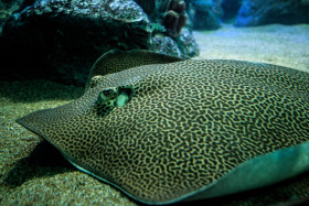 Stock Image: reticulate whipray