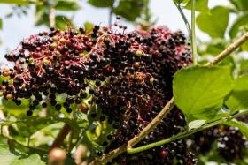 Stock Image: Ripe elderberries in summer