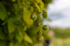 Stock Image: Ripe hops