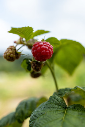 Stock Image: Ripe raspberry