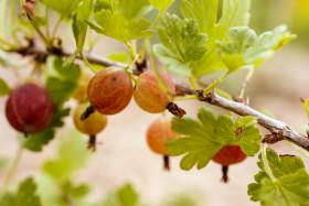 Stock Image: Ripening gooseberries