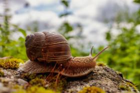 Stock Image: Roman snail