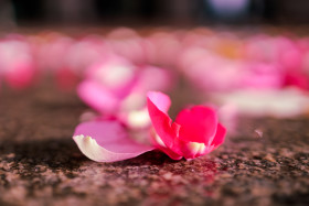 Stock Image: Rose petals on the floor