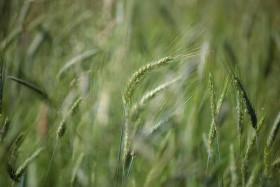 Stock Image: Rye field
