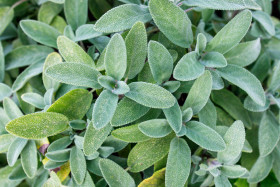 Stock Image: Sage all over the place