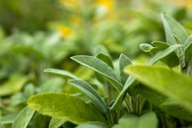 Stock Image: Sage growing wild