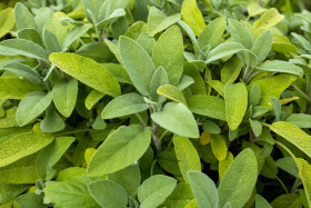 Stock Image: Sage in the herb garden