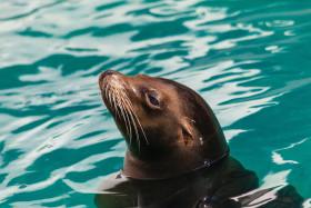 Stock Image: sea lion portrait
