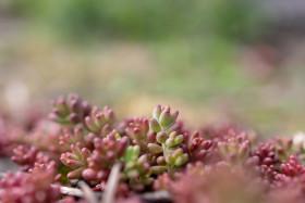 Stock Image: Sedum spathulifolium