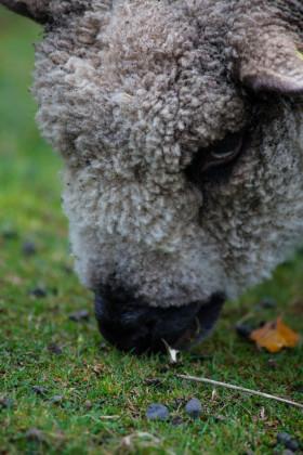 Stock Image: sheep portrait