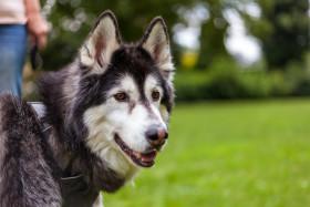 Stock Image: Siberian Husky Portrait