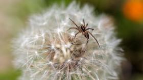 Stock Image: Spider on dandelion