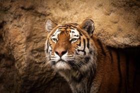 Stock Image: tiger portrait